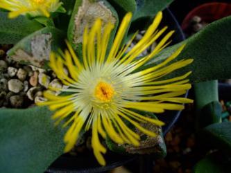 プレイオスピロス 陽光/カヌス (Pleiospilos compactus ssp. canus)  2011.01.14