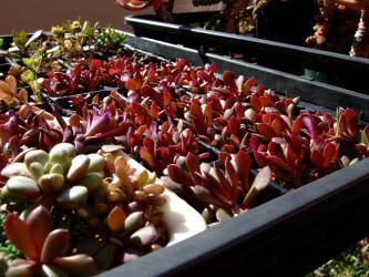 スベリヒユ科 アナカンプセロス属(吹雪の松の斑入り) Anacampseros rufescens  f. variegata(実生苗)
