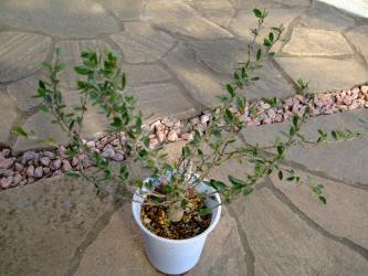 フーキエリア科 イドリア属  カンポウギョク(観宝玉.・観峰玉)  Fouquieria Idria columnaris.