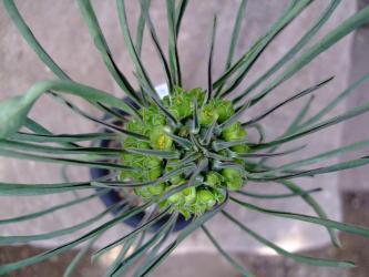 ユーフォルビア 逆鱗竜/如意棒/アフリカドラゴン  Euphorbia clandestina