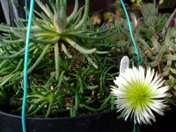 メセン科 フィロボルス属  Phyllobolus sp . 201.01.13
