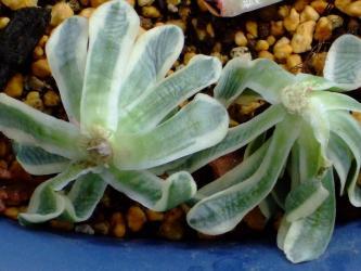 オロスタキス 富士(Orostachys malacophylla v.iwarenge f.variegata) 2011.01.19