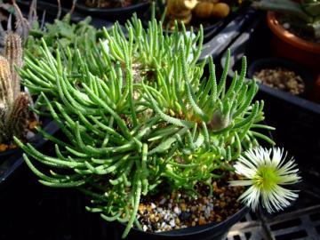 メセン科 フィロボルス属  Phyllobolus sp . 2011.01.19