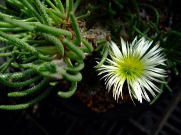 メセン科 フィロボルス属  Phyllobolus sp 開花 2011.01.19
