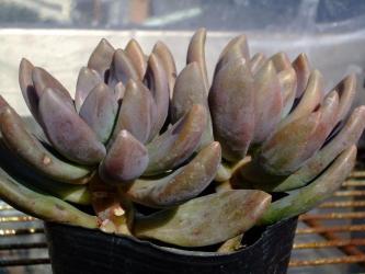 パキべリア紫麗殿(シレイデン)Pachyveria 'Hummel's Purple'