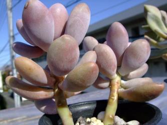 星美人パキフィツム オビフェラム  Pachyphytum oviferum