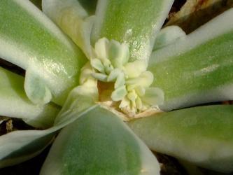 オロスタキス 富士(Orostachys malacophylla v.iwarenge f.variegata) 2011.02.01