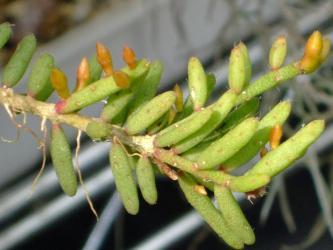 Rhipsalis mesembryantoides  リプサリス属 女仙葦(メセンアシ)/千代の松(チヨノマツ)2011.02.04