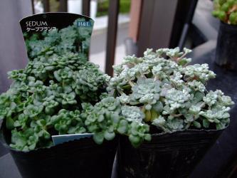 白雪ミセバヤ(Sedum spathulifolium)セダム スパスリフォリウム