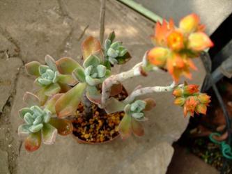 エケベリア フロスティー. Echeveria pulvinata cv. Frosty