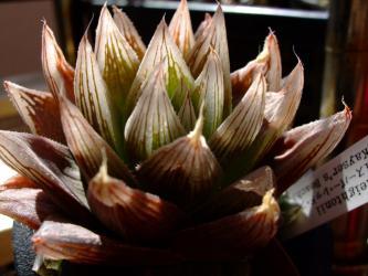 ハオルチア レイトニー Haworthia cooperi var. leightonii (Kaisers Beach)