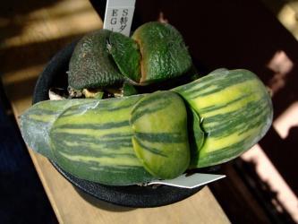 Gasteria pillansii  ピランシーとGasteria armstrongii 臥牛