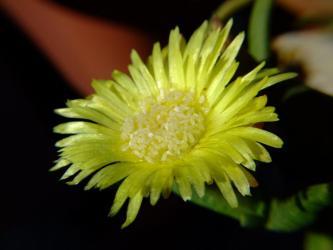 ケファロフィルム コンパクツム(Cephalophyllum compactum ) 黄花