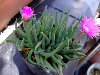 ケファロフィルム スタイネリ(Cephalophyllum stayneri) 紫ピンク花