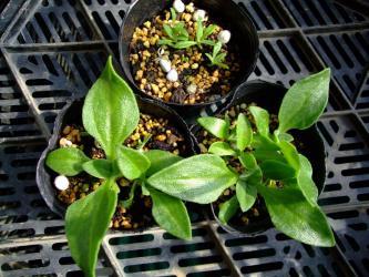 クリスタリナム(アイスプランツ)(Mesembryanthemum crystallinum)苗2011/02/28