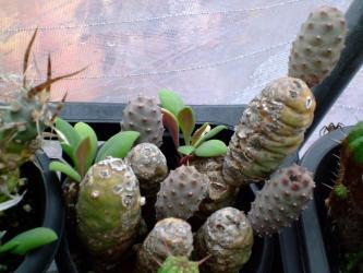松笠団扇'(丸い短い)Tephrocactus articulatus var. diadematus 'inermis'