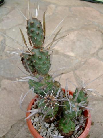 長刺武蔵野 Tephrocactus articulatus var. papyracanthus