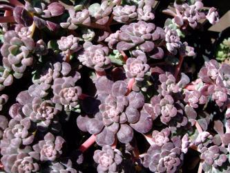 白雪ミセバヤ(Sedum spathulifolium cv. purpureum)セダム スパスリフォリウム