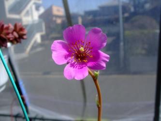 スベリヒユ科 カランドリニア属 ディスカラー(Calandrinia discolor) 和名:玉屋紅(たまやべに)開花