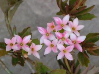 カランコエ キューエンシス Kalanchoe X Kewensis (K.flamonea X K.bentii)