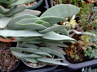 クラッスラ  神刀(ジントウ)Crassula perfoliata var. falcata, var. minor