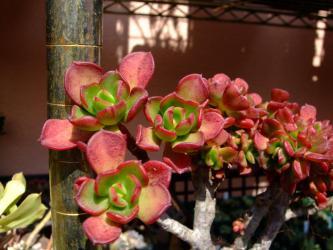 エケベリア 久米の舞(久米舞)セッカ Echeveria spectabilis スペクタビリス