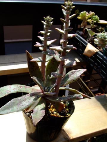 ダドレア ランケオラータ(Dudleya lanceolata)