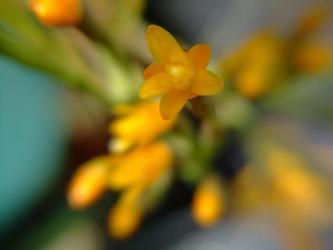 猿恋葦(さるこいあし) ハチオラ(壜葦サボテン属)サルコイオイデス(Hatoria salicornioides)