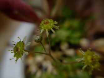 モナンテス ブラキカウロン( Monanthes brachycaulon.)