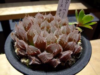 ハオルチア 有刺クーペリーCエースタイプ(H.cooperi v.cooperi W Somerset East )
