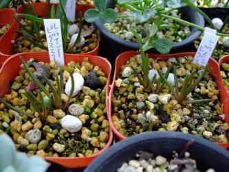 レウイシア・ピグマエア(Lewisia pygmaea スベリヒユ科レウイシア属)2011.04.16