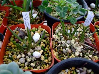 レウイシア・ピグマエア(Lewisia pygmaea スベリヒユ科レウイシア属)2011.04.21