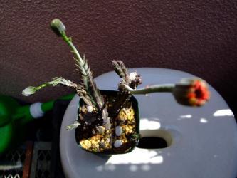 セネシオ(セネキオ) スタペリフォルミス(Senecio stapeliformis)和名:鉄錫杖 2011.04.25
