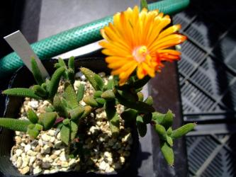 メセン科 トリコディアデマ属 デコルム(和名不明)Aizoaceae Trichodiadema decorum (オレンジ花色)