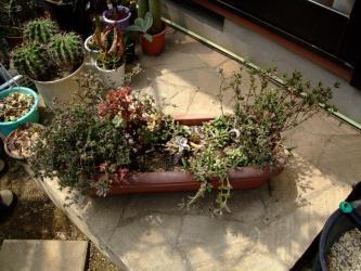メセン科 トリコディアデマ属 左:Trichodiadema barbatum (稀宝 赤紫花)右:Trichodiadema decorum (オレンジ花色)