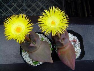 咲きました!ケイリドプシス 翔鳳(しょうほう)(Cheiridopsis peculiaris) 2011.04.27.pm3:50