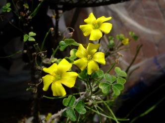Oxalidaceae Oxalis gigantea カタバミ科オキザリス属ギガンティア