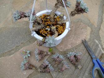 Dudleya greenii  グリーニーホワイトフォーム 思い切って仕立て直し!挿し木用カット苗7ヶ作成。