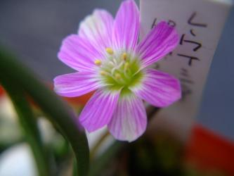 レウイシア・ピグマエア(Lewisia pygmaea スベリヒユ科レウイシア属)2011.05.04