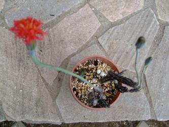 セネシオ(セネキオ) スタペリフォルミス(Senecio stapeliformis)和名:鉄錫杖 2011.05.05