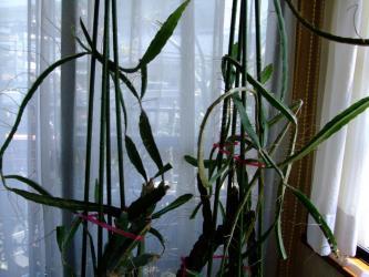 三角柱~置き場が無くて2年前冬から室内窓辺で2011.05.08