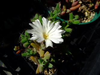 メセン科 トリコディアデマ属 雪小松(ユキコマツ)白花~Aizoaceae Trichodiadema mirabile