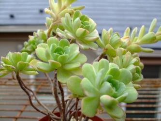 アエオニウム 愛染錦 (Aeonium domesticum f. variegata )蕾~2011/05/10