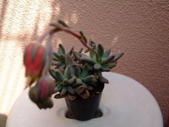 ロンギフォリム (Pachyphytum longifolium)