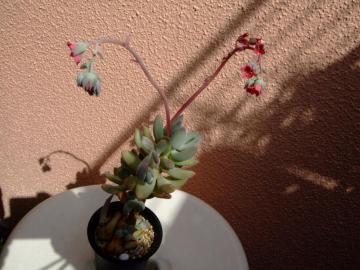 パキフィツム 桃美人(オビフェラム=星美人変種?)Pachyphytum oviferum