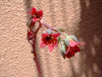 パキフィツム 桃美人 (オビフェラムの変種?Pachyphytum oviferum )