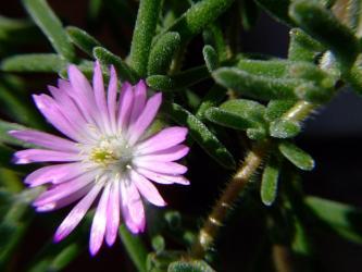 ドロサンセマム フロリブンダム(Drosanthemum floribundum )花宝生?銀緑輝?