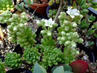 セダム バエチクム(Sedum hirsutum ssp.baeticum Winklerii)=セダム ウィンクレリー(Sedum winkleri)