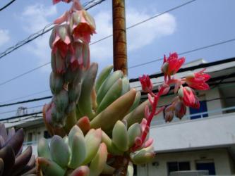奥:群雀:パキフィツム フーケリー Pachyphytum hookeri 、手前:桃美人(Pachyphytum oviferum )?