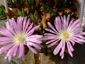 トリコディアデマ 不明種~Trichodiadema sp.  薄いピンク花&黄色い刺!2011.05.19